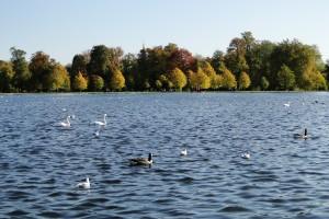 Am Round Pond haben viele Enten und Schwäne ihre Heimat gefunden.